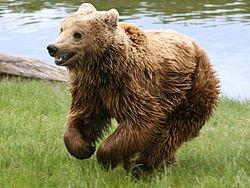 Ours brun Ursus Arctos. dans nature 250px-Brown_bear_Ursus_arctos_arctos_running1