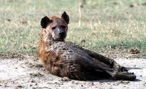 Nature Sauvage ( sexe). dans sexe hyene-tachetee-08